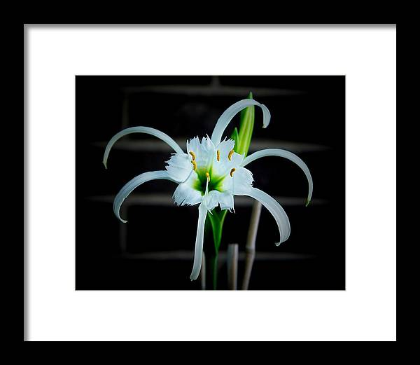 Peruvian Daffodil Framed Print featuring the photograph Peruvian Daffodil - 8x10 by B Nelson
