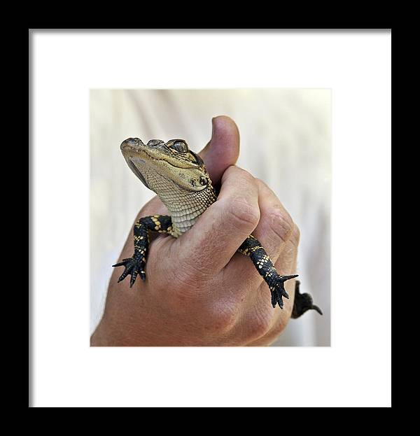 Pets Animals Fauna Alligators Framed Print featuring the photograph Pet by LOsorio Photography