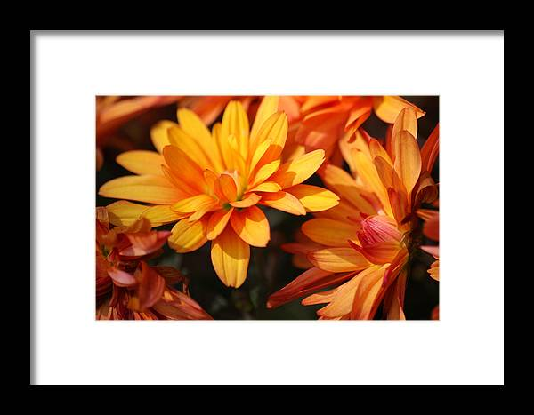 Flowers Framed Print featuring the photograph Petals Of Autumn 2 by Jim Darnall