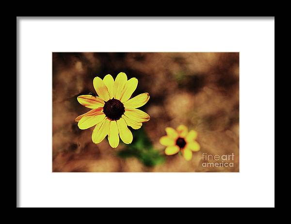 Sunflower Framed Print featuring the photograph Petals Stretched by Kim Henderson