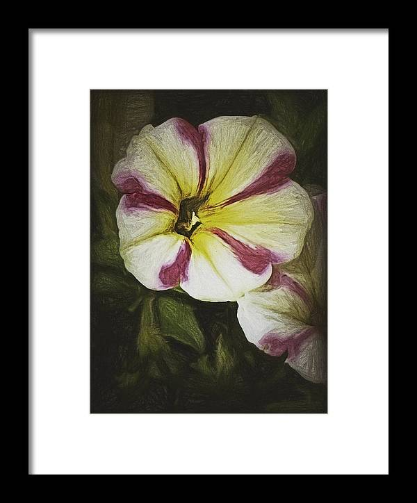 Framed Print featuring the photograph Petunia Sketch by K Bella Flora Images