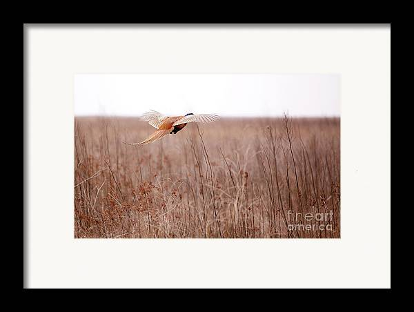Pheasant Framed Print featuring the photograph Pheasant In Flight by Gabriela Insuratelu