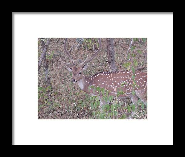 Spotted Deer Framed Print featuring the photograph Photograph by Sannu Prasad