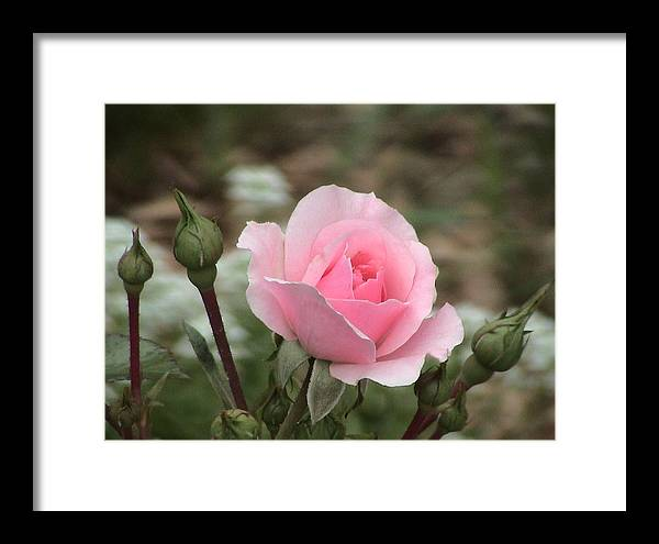 Pink Framed Print featuring the photograph Pick Me If You Can by Ingrid Small