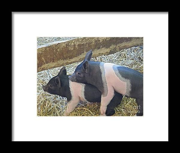 Piggyback; Piglets Framed Print featuring the photograph Piggyback by Ann Horn