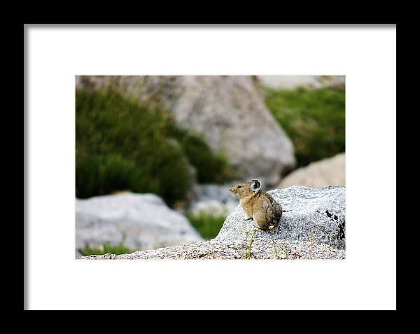 Animal Framed Print featuring the photograph Pika Done by Grant Bolei
