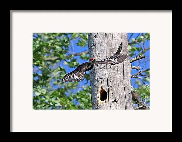Woodpecker Framed Print featuring the photograph Pileated #27 by James F Towne
