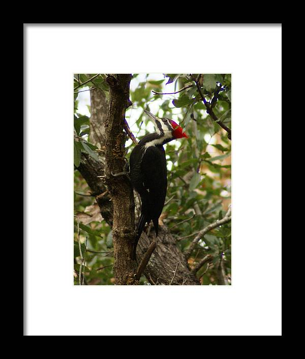 Bird Framed Print featuring the painting Pileated Woodpecker by Debbie May