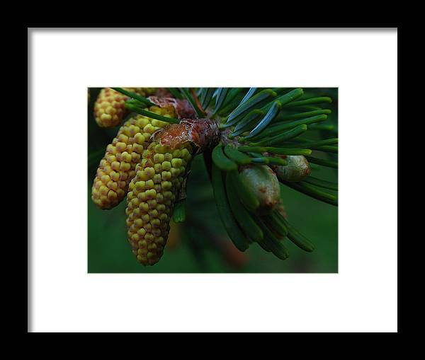 Spring Framed Print featuring the photograph Pine Cone by Juergen Roth