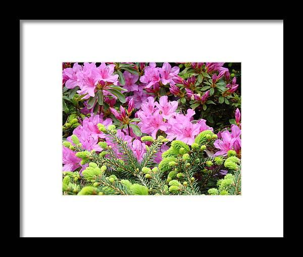 �azaleas Artwork� Framed Print featuring the photograph Pine Conifer Pink Azaleas 30 Summer Azalea Flowers Giclee Art Prints Baslee Troutman by Baslee Troutman