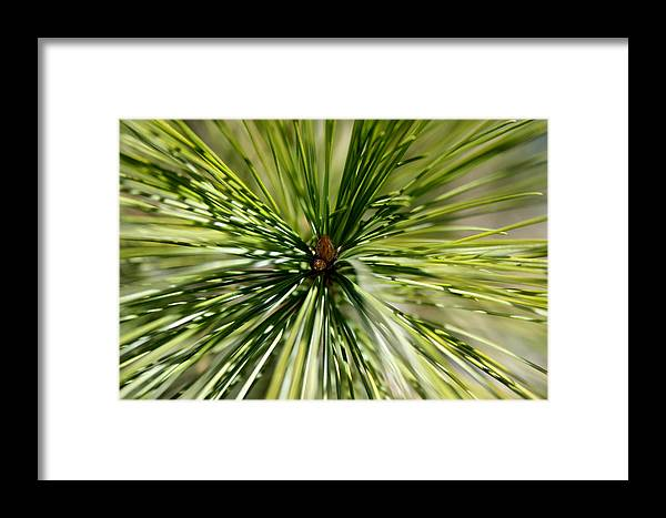 Pine Needles Framed Print featuring the photograph Pine Needles by Laura Kinker
