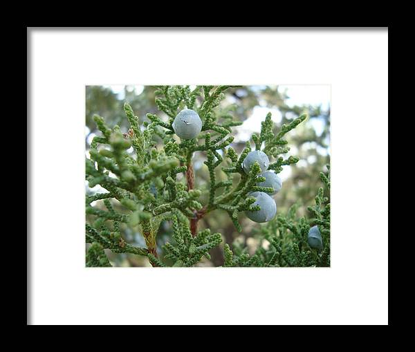 Pine Framed Print featuring the photograph Pine Seeds by Tong Steinle