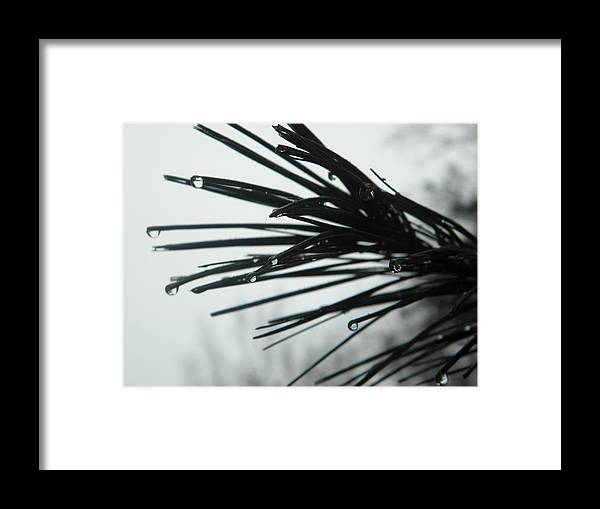 Rain Water Runs Off The Tip Of A Pine Framed Print featuring the photograph Pine Tip by Robin Coaker