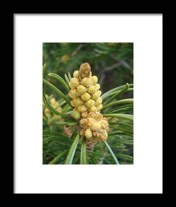 Pine Framed Print featuring the photograph Pine Tree by Tong Steinle