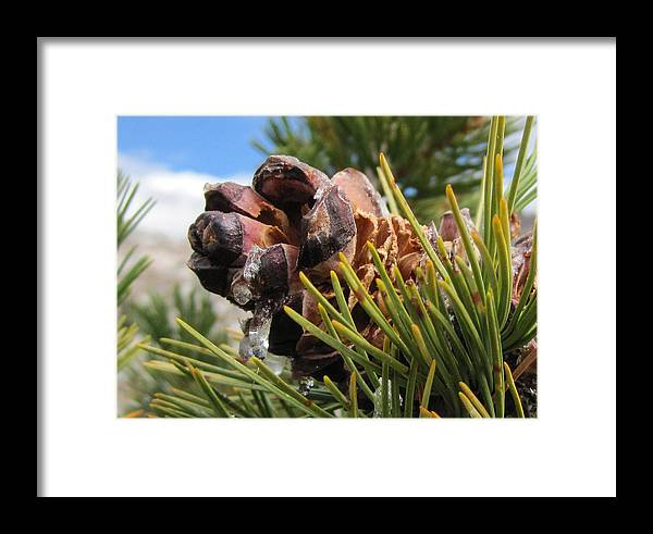 Sap Framed Print featuring the photograph Pinecone With Dripping Sap by Brenda Smith