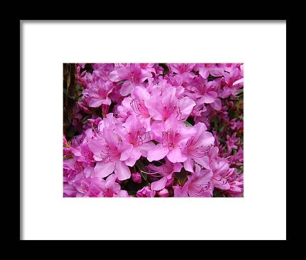 �azaleas Artwork� Framed Print featuring the photograph Pink Azaleas Summer Garden 6 Azalea Flowers Giclee Art Prints Baslee Troutman by Baslee Troutman
