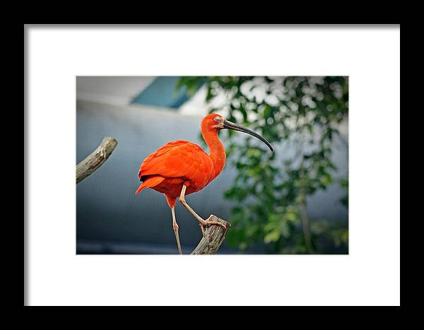 Pink Framed Print featuring the photograph Pink Bird by Joann Mitchell