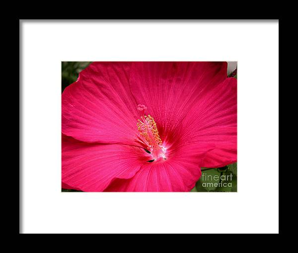 Hibiscus Framed Print featuring the photograph Pink Bloomers by Paul Anderson