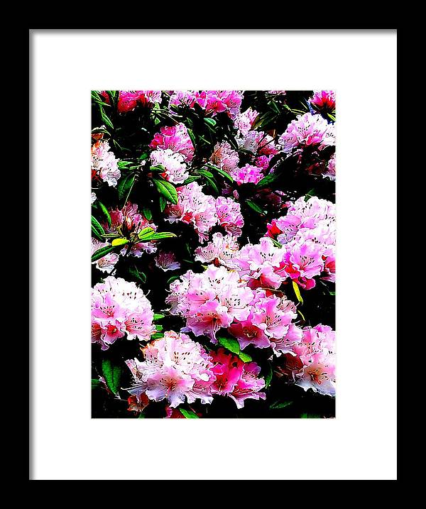 Pink Framed Print featuring the photograph Pink Blossoms by Colin Drysdale