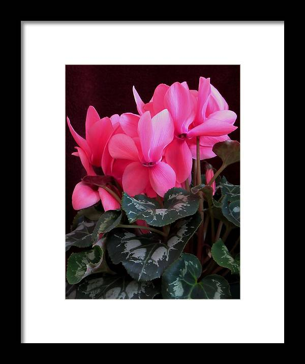 Lynne Miller Framed Print featuring the photograph Pink Cyclamen 1 by Lynne Miller