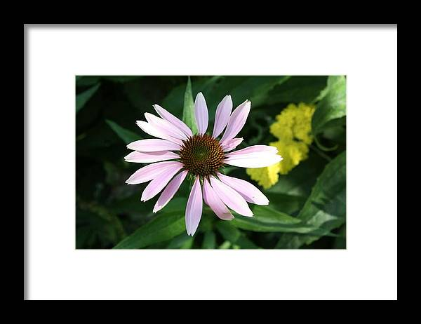 Pink Cone Flower Framed Print featuring the photograph Pink Cone Flower 2 by Debra Sandstrom