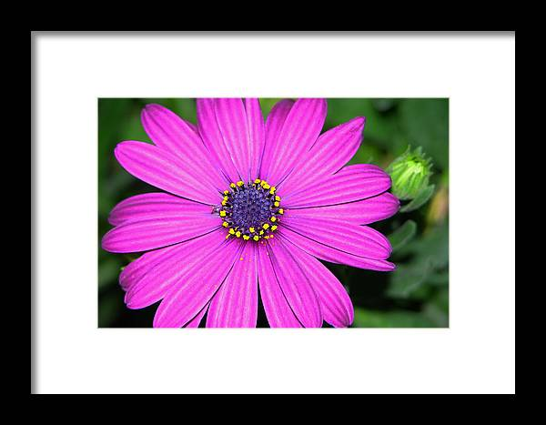 Pink Daisy Framed Print featuring the photograph Pink Daisy by Dori Peers