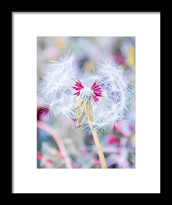 Pink Framed Print featuring the photograph Pink Dandelion by Parker Cunningham