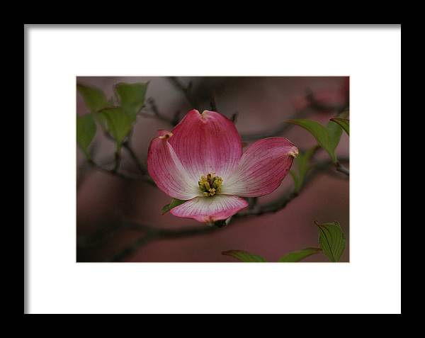 Flowers Framed Print featuring the photograph Pink Dogwood Blossom by Sandy Keeton