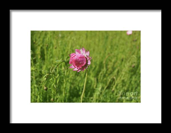 Annual Framed Print featuring the photograph Pink Everlasting by Cassandra Buckley
