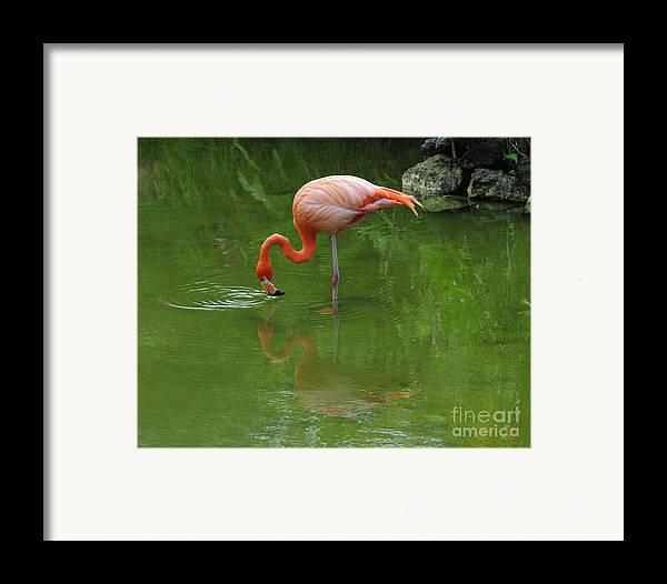 Pink Flamingo Framed Print featuring the photograph Pink Flamingo by Cindy Lee Longhini