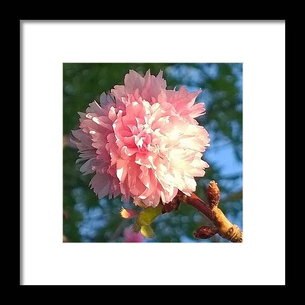 Plant Framed Print featuring the photograph Pink Flower Bloom In Sunset. #flowers by Shari Warren