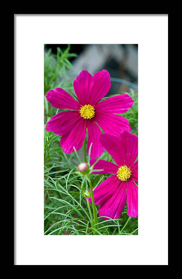 Pink Framed Print featuring the photograph Pink Flower by Michael Bessler