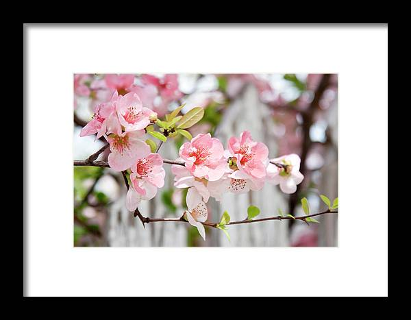 Flowers Framed Print featuring the photograph Pink Flowers And A White Picket Fence by Toni Hopper