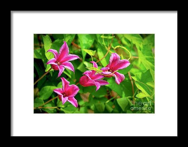 Annual Framed Print featuring the photograph Pink Flowers by Joe Geraci