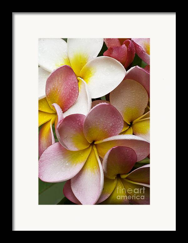 Pink Frangipani Framed Print featuring the photograph Pink Frangipani by Sheila Smart Fine Art Photography