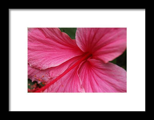 Pink Framed Print featuring the photograph Pink Hibiscus by Kathy Schumann