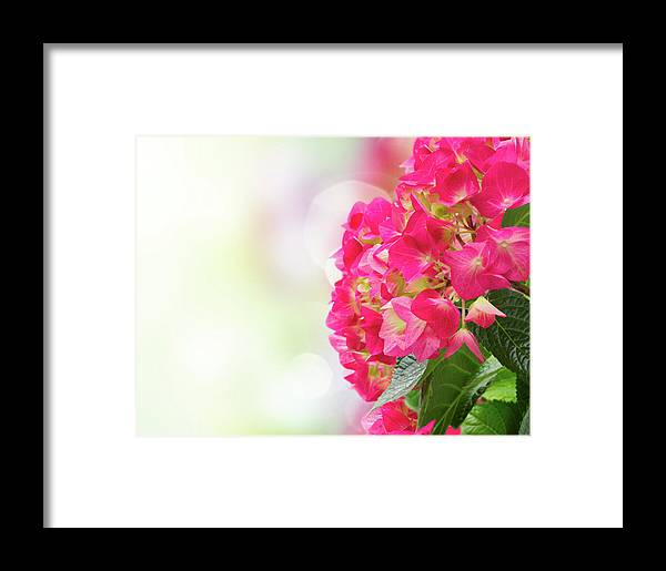 Hortensia Framed Print featuring the photograph Pink Hortensia Flowers In Graden by Anastasy Yarmolovich