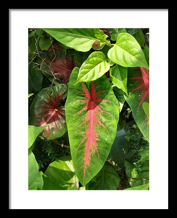 Plant Framed Print featuring the photograph Pink Leaves by Kathy Daxon