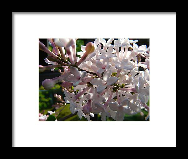 Flower Framed Print featuring the photograph Pink Lilac Blossom by Valerie Ornstein
