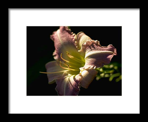Flower Framed Print featuring the photograph Pink Lilly by Chris Fleming