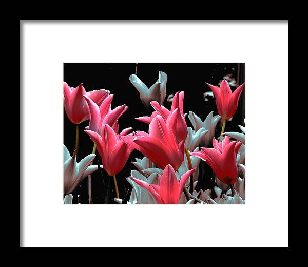 Flowers Framed Print featuring the photograph Pink N Silver Tulips by Irma BACKELANT GALLERIES
