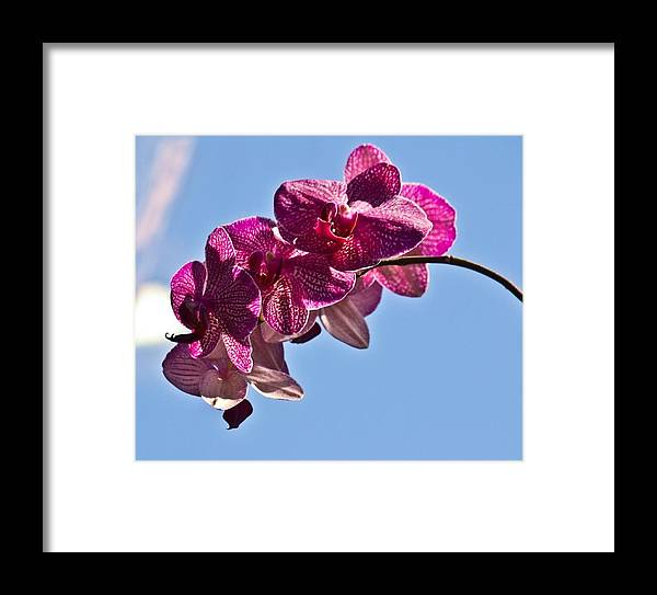 Pink Orchid Blue Sky Flower Framed Print featuring the photograph Pink Orchid by Mindy Roth