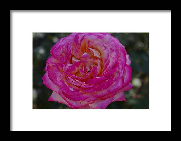 Garden Framed Print featuring the photograph Pink Perfection by Veron Miller