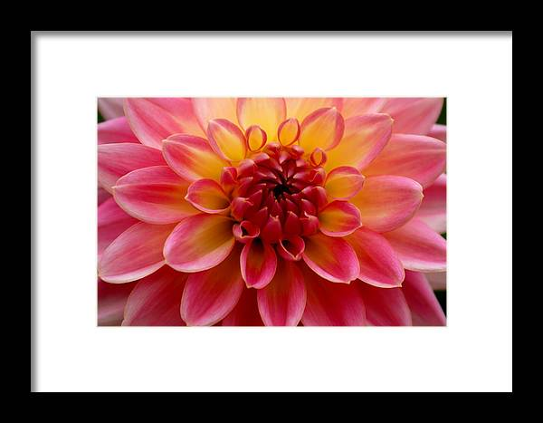 Floral Framed Print featuring the photograph Pink Petals by Sonja Anderson