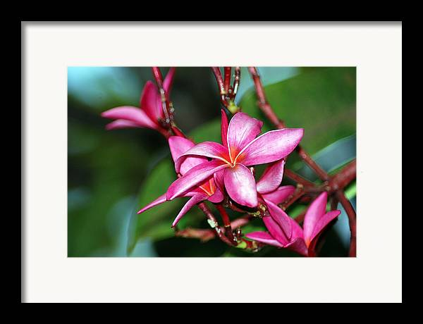 Framed Print featuring the photograph Pink Plumeria by JK Photography