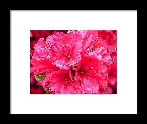 Pink Framed Print featuring the photograph Pink Rain by SolsticeFox Photography