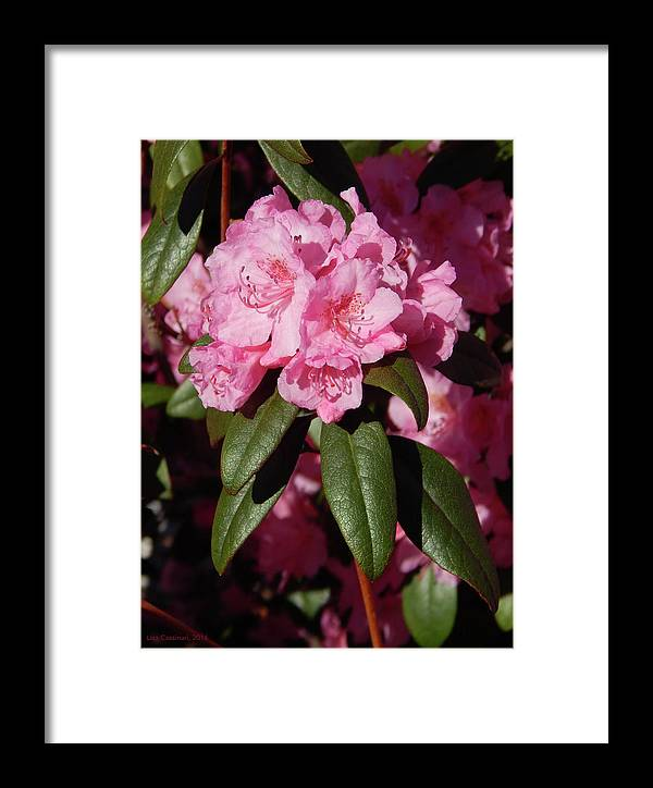 Floral Framed Print featuring the photograph Pink Rhododendron by Lisa Cassinari