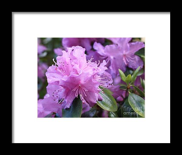 Flower Framed Print featuring the photograph Light Purple Rhododendron With Leaves by Carol Groenen