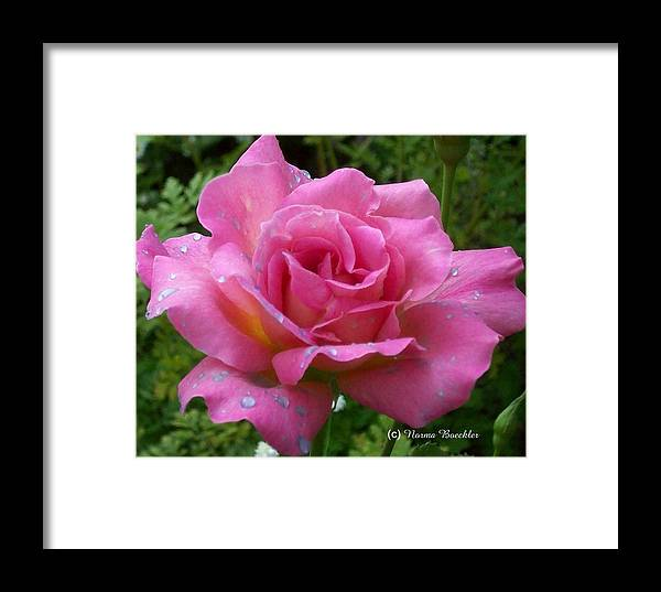 Pink Flowers Framed Print featuring the photograph Pink Rose After Rain by Norma Boeckler