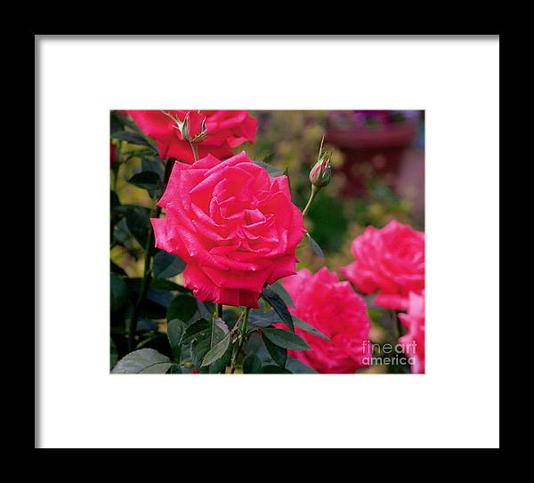 Pink Framed Print featuring the photograph Pink Rose And Bud by Rod Ismay